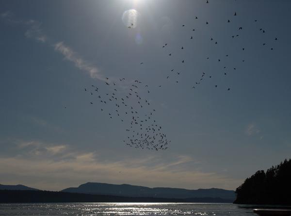 Bonaparte Gulls on Whale and wildlife tour