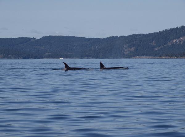 Transient Orca, Salt Spring Island BC 1