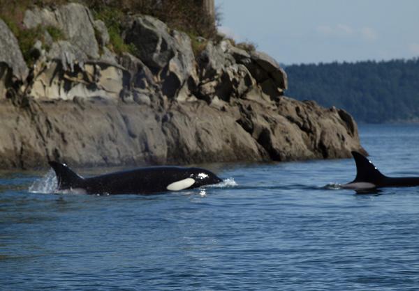 Transient Orca, Salt Spring Island BC 2