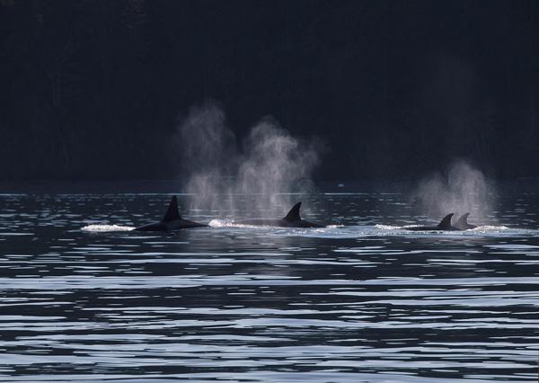 Transient Orca, Salt Spring Island BC 3