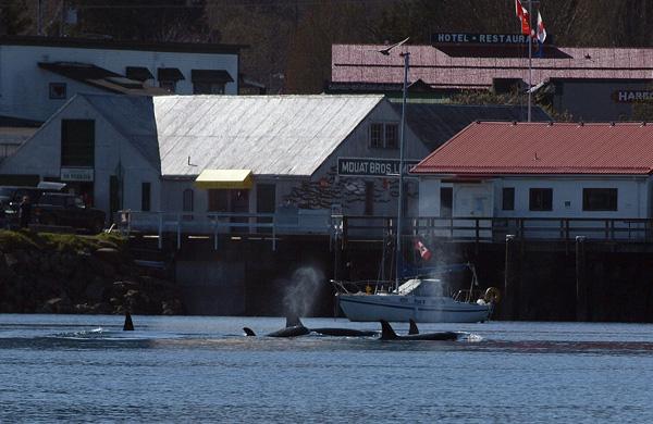 Transient Orca - Salt Spring Island BC 4