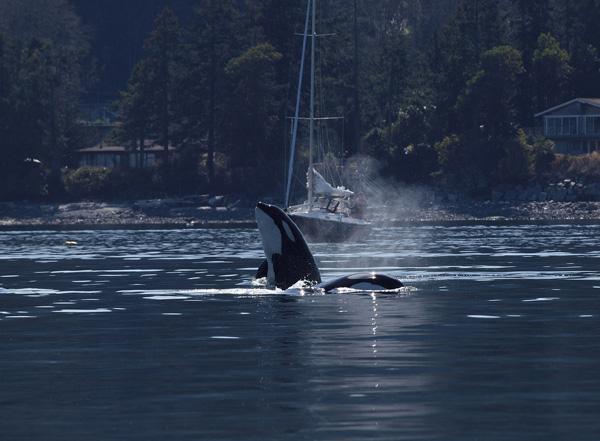 Transient Orca - Salt Spring Island BC 5